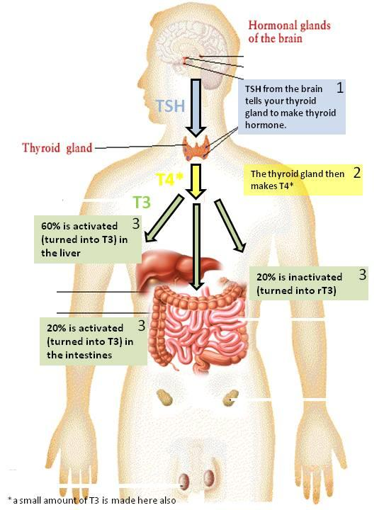 Thyroid – Do You Have A Problem? Functions, Signs ...