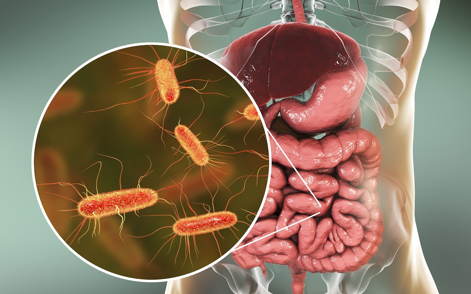 3D illustration of the digestive system with E.coli bacteria zoomed in