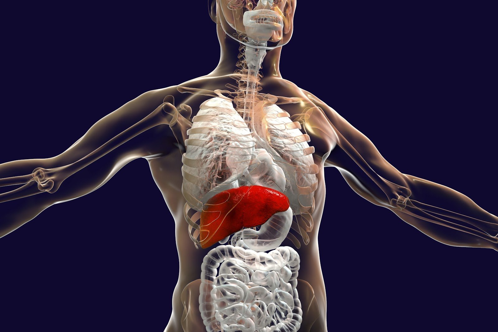 autoimmune liver disease: diagram of internal organs