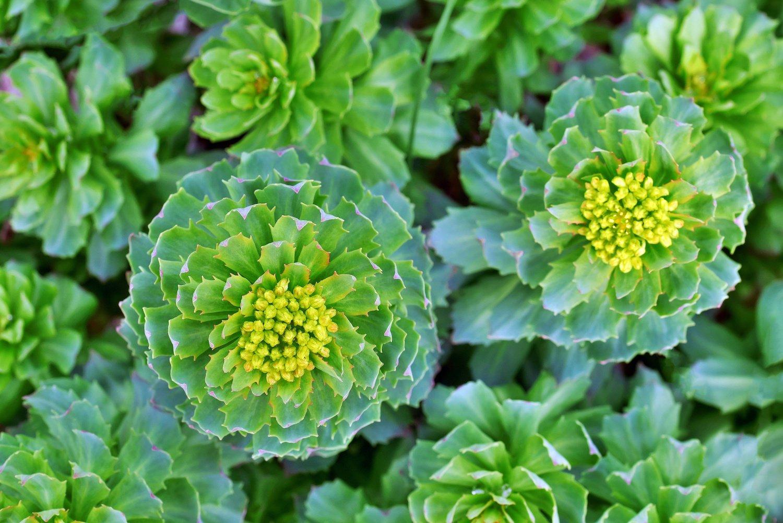 Top view image of Rhodiola Rosea medicinal plant