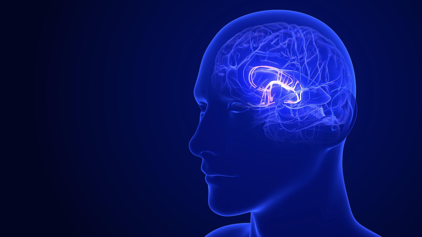 neuroplasticity training: illustration of the limbic system