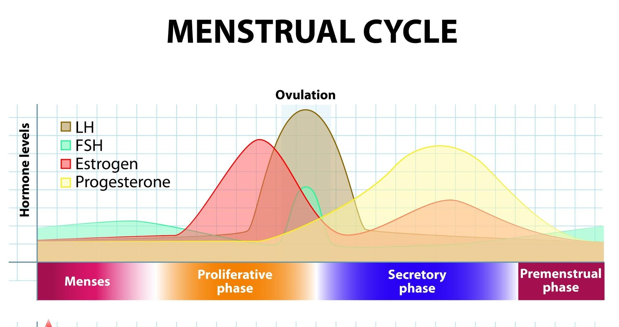 what to eat on your period: Diagram of the menstrual cycle